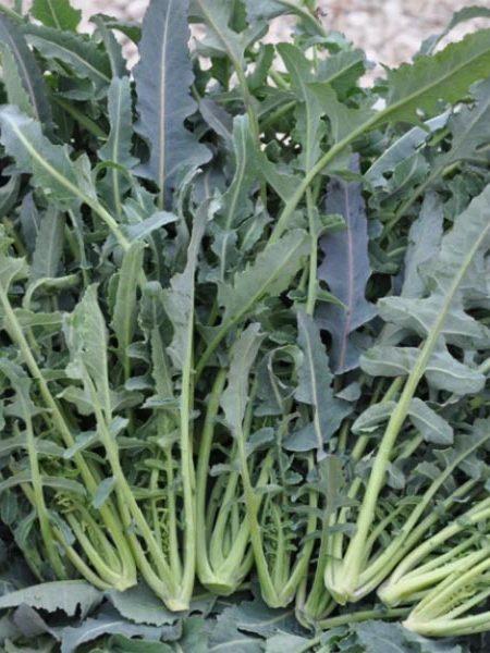 Broccoli 'Broccolo Fiolaro'