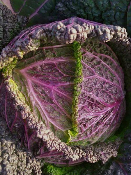 Cabbage 'Verza Moretta di Veronella'