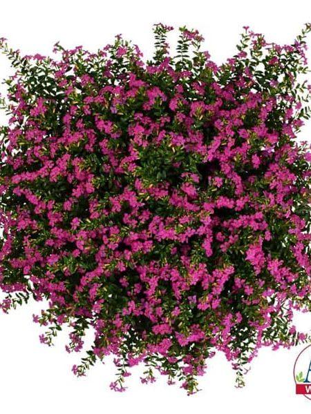 Cuphea 'FloriGlory Diana'