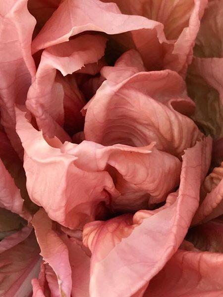 Radicchio 'Rosa di Veneto 'Rosato'