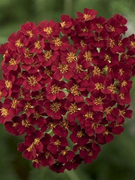 Achillea millefolium 'Desert Eve Red'
