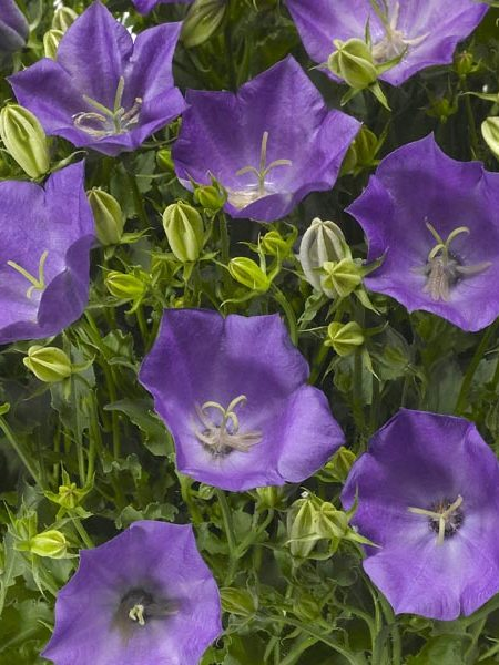 Campanula carpatica 'Pristar Deep Blue'