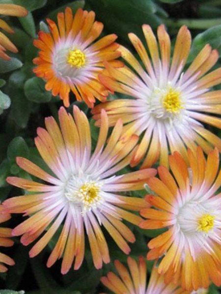 Delosperma cooperi 'Jewel of the Desert Topaz'
