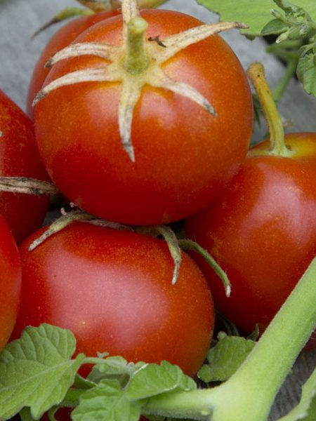 Tomato '42 Days' Grafted