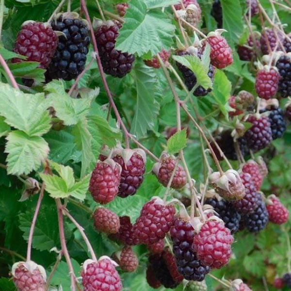 Blackberry 'Marionberry'