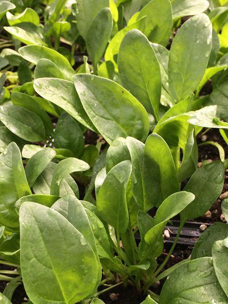 Spinach 'Regiment'