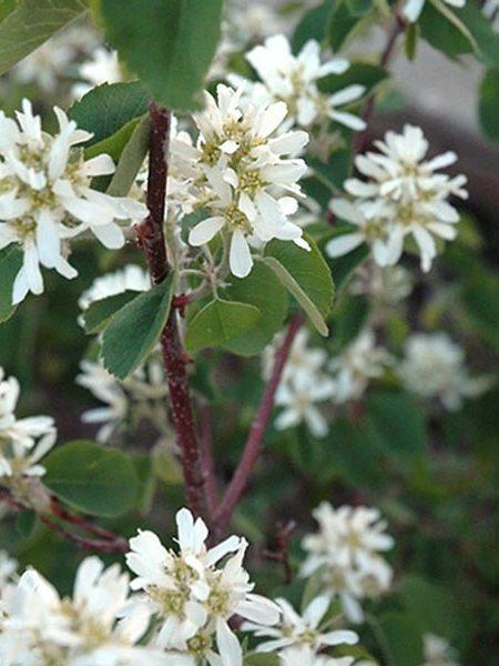 Amelanchier alnifolia 'Smokey'