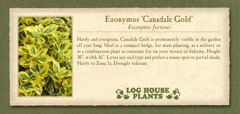 Euonymus Canadale-Gold