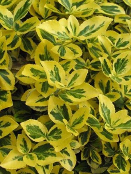 Euonymus 'Canadale Gold'